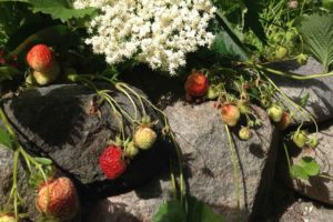 Strawberries in the B&B Albertine garden