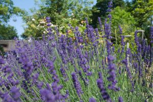 Beautiful lavender in the garden
