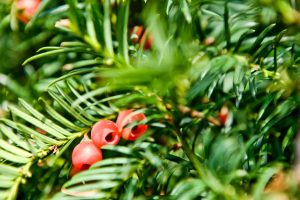 Taxus baccata – Yew tree in the garden